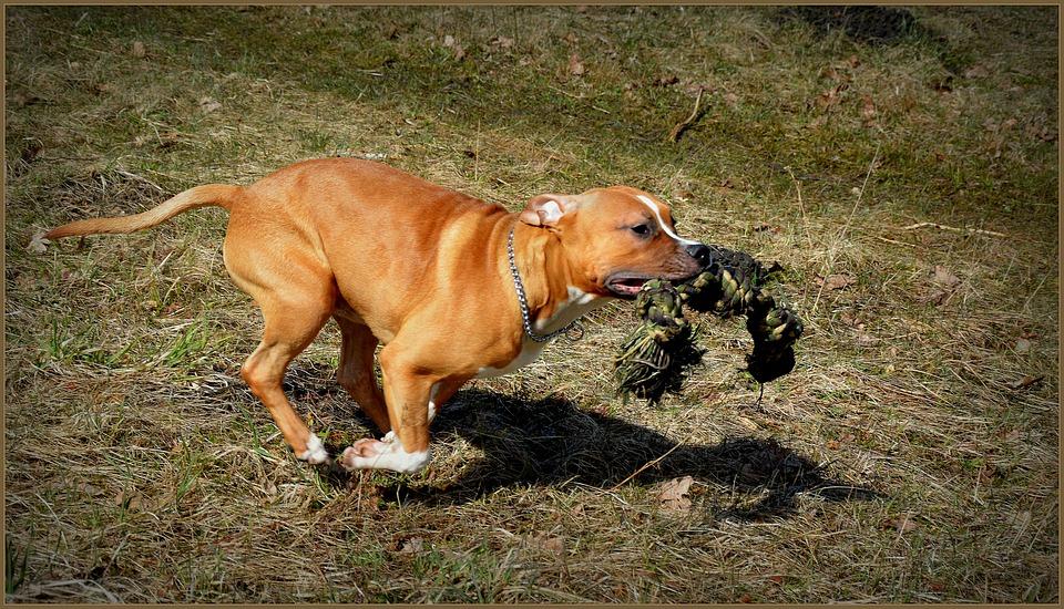 Animal-Dog-Amstaff-Staffordshire-Staffy-Pet-2314931.jpg